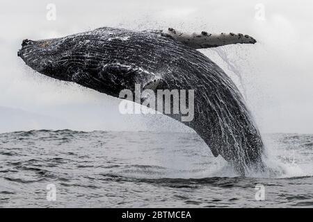 Ballena jorobada breviando, Océano Atlántico, costa oeste de Sudáfrica, cerca de Langebaan.