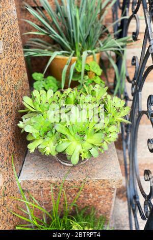 Macetas de plantas suculentas se encuentran en los escalones de entrada de la casa. Diseño de porche residencial. Casa verde. Plantas para casa.