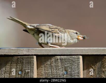 Sparrow (Passer domesticus) hembra en una valla de jardín comiendo una abeja de miel