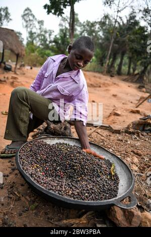 África, África Occidental, Togo, Kpalime. Un joven muestra los granos de café en una bandeja