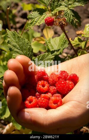 Frambuesas silvestres frescas en la mano del niño (caucásico) Foto de stock