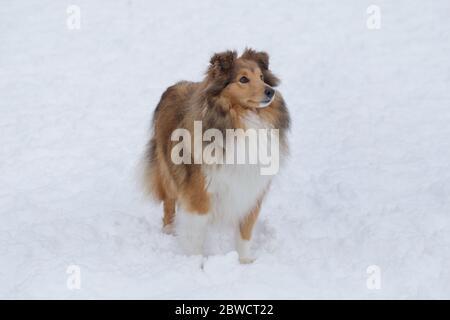 El collie de pelo largo está parado en una nieve blanca en el parque de invierno. Animales de compañía. Perro purrado.