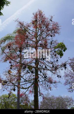 Los Angeles, California, USA 31 de mayo de 2020 una vista general de la atmósfera de un árbol el 31 de mayo de 2020 en los Angeles, California, USA. Foto de Barry King/Alamy Foto de stock
