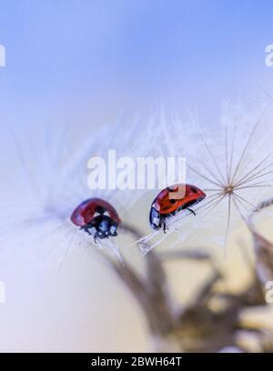 Cerca de la mariquita en la semilla de salsify con reflexión en el espejo Foto de stock