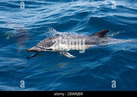 Delfín común, delfín común de pico corto, delfín de espalda (ed), delfín de cruz (Delphinus delphis), natación en la superficie del agua, vista lateral, Portugal, Algarve, Sagres