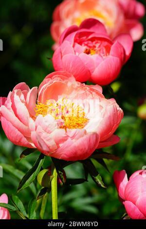 Coral Charm naranja rosa peonía flor en flor Foto de stock