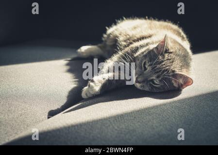 Tabby gris gato laing en el sofá en el sol mancha en casa closeup