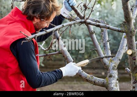 Agricultor podadora de árboles frutales con sierra de poda, campo Agropecuario, Calahorra, la Rioja, España, Europa