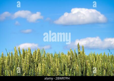 Un campo de grano madurando para la cosecha bajo el cielo azul.