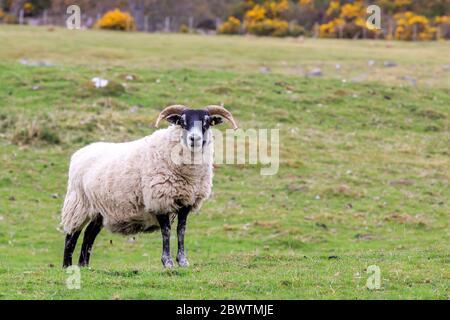 Oveja escocesa negra de pie en un prado escocés