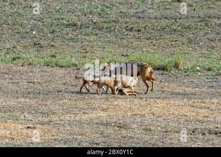 El gato indio femenino (Canis aureus) alimentándose y jugando con sus cachorros, la reserva de tigre de Kanha o el parque nacional de Kanha-Kisli, estado de Madhya Pradesh, India