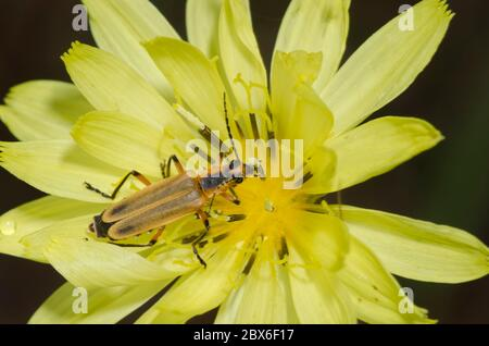 Soldado Beetle, Chauliognathus marginatus, sobre el diente de león falso, Pyrrhopappus sp.
