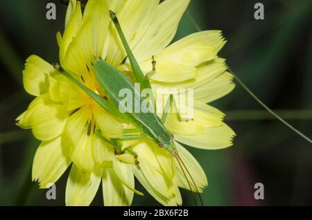 Bush Katydid, Scudderia sp., ninfa sobre el diente de león falso, Pyrrhopappus sp.