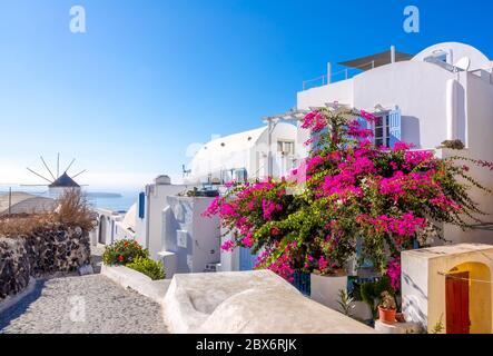 Grecia. Soleado día de verano en una calle desierta Oia en la isla de Santorini. Un gran arbusto de flores y un molino de viento en la distancia