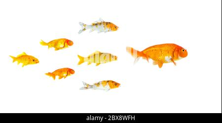 Grupo de peces pequeños y peces koi siguiendo al líder aislado sobre fondo blanco mostrando al líder individualidad éxito o concepto de motivación. Autobús Foto de stock