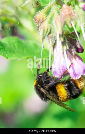Miel Naranja Grande y Negro rayas Abeja polinizar plantas moradas con flores. Primer plano Marco View