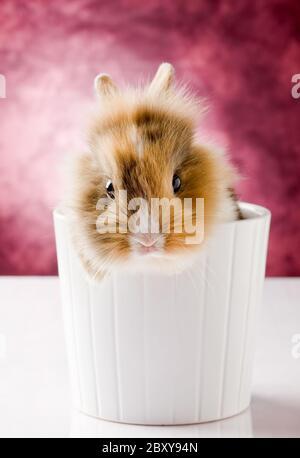 Conejo enano con cabeza de León