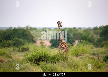 Giraffe está entre el arbusto y los árboles en la sabana de Kenia