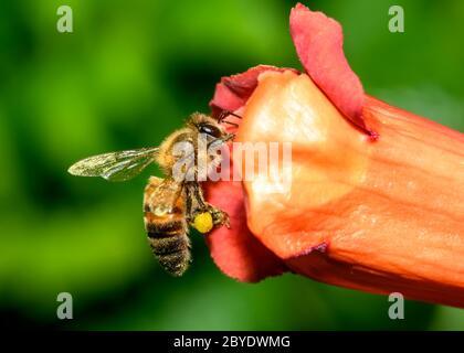 Abeja de miel occidental o abeja de miel europea (Apis mellifera) en la flor de la trompeta Vine