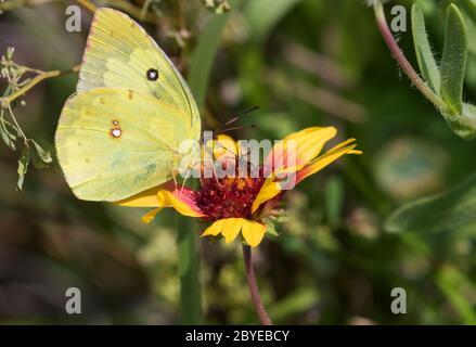Phoebis sennae, el azufre sin nubes o azufre gigante sin nubes, alimentándose de la flor, Galveston