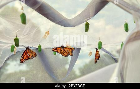 Mariposas monarca emergen en el hábitat de la elevación de mariposas. Varios crisálises colgando del techo de la jaula. Surgieron mariposas secando sus alas.