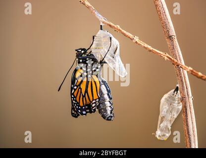 Mariposa monarca (danaus plexippus) que emerge del crisálido en la rama de la maleza