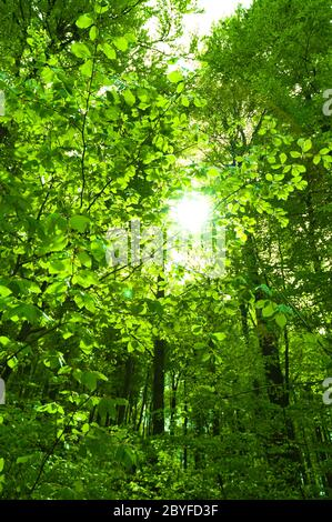Sol brillando a través de la hoja en el bosque Foto de stock