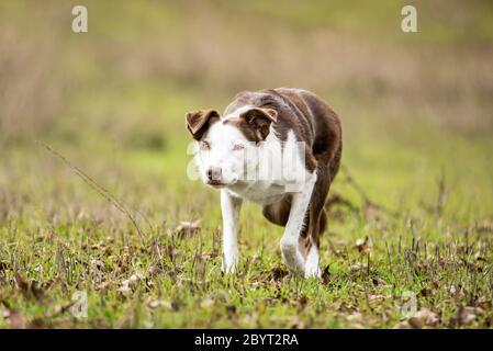 Purebred borde de la herding collie perro pastor en la postura de modo de acecho