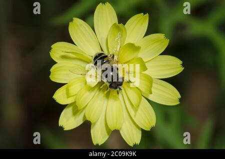 Mosca sirphid, estipendio de Eristalis, forrajeo masculino en diente de león falso, Pirrhopappus sp.