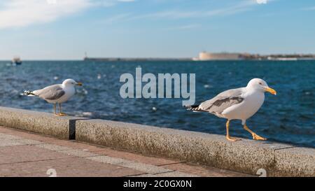 Sospechoso y divertido dos gaviotas aves caminando cuidadosamente en una pared mientras nos mira en frente de un paisaje marino, con un barco pasando por y la ciudad