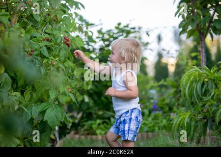 Niño pequeño, niño, recogiendo raspberiías en el jardín