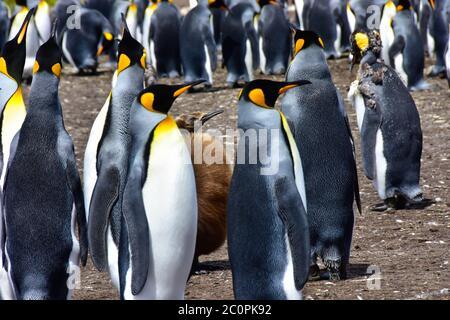Una colonia de pingüinos rey y un polluelo, y un adulto joven que moleste. Islas Malvinas.