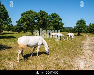Caballos Lipizzaner blancos en pastura, Lipica, Eslovenia