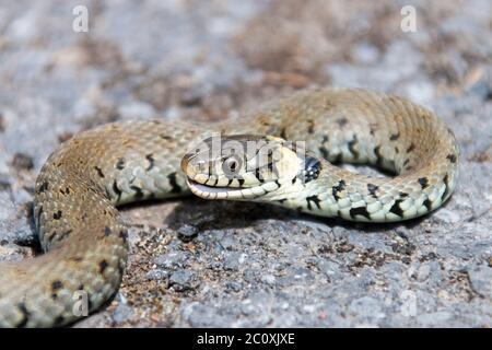 Hierba serpiente, Natrix natrix, cogida por un gato.