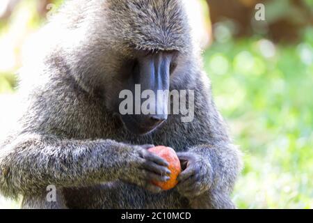 Un mono grande juega con una manzana