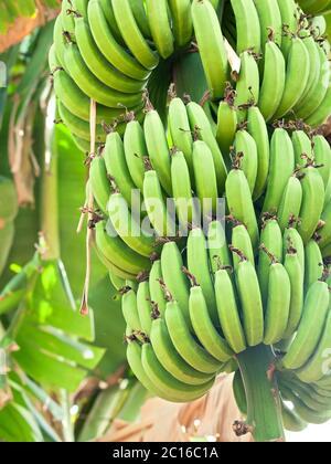 rama de plátano verde joven en el árbol