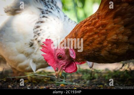 La gallina roja vibrante está pecando lejos en el grano