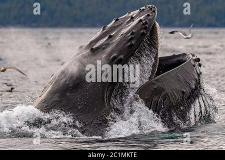Almuerzo de ballena jorobada que se alimenta cerca del archipiélago de Broughton, Territorio de las primeras Naciones, Columbia Británica, Canadá.