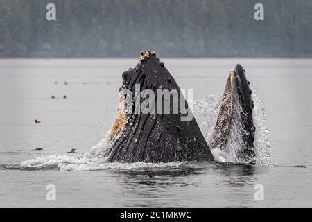 Trampa de ballenas jorobadas alimentándose cerca de Blackfish Sound en la isla de Vancouver cerca del archipiélago de Broughton, Territorio de las primeras Naciones, Isla de Vancouver, Briti