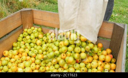 obrero vacía una bolsa de manzanas doradas y deliciosas en un cubo de madera
