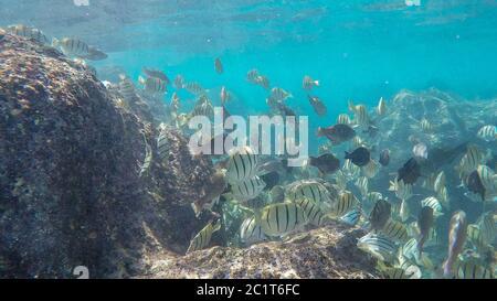 escuela de convictos tangos nadar sobre el arrecife en la bahía de hanauma,