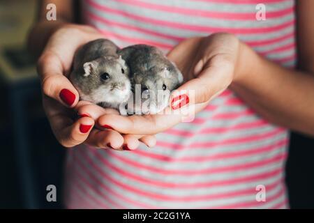 Un par de hámsters rusos grises en manos de chica con esmalte de uñas rojo y rayas rosadas y grises camiseta