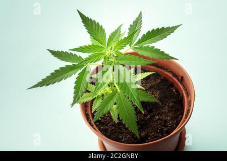 Cultivo de cannabis en casa. Una planta de cáñamo joven en una olla