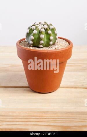 Echinopsis dominos planta de cactus en una olla sobre fondo de madera.
