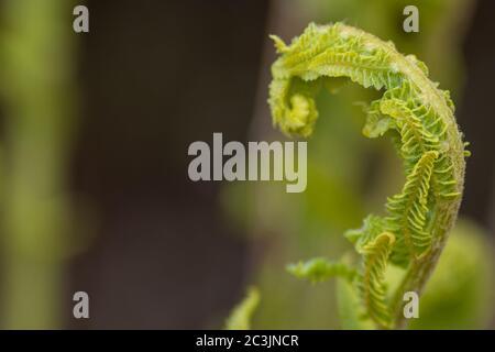Un helecho de cabeza de fiddlebehead o verde que se desenrolla en una fronda cosechada como una verdura. El fiddlhead se asemeja a la ornamentación curada de un rollo.