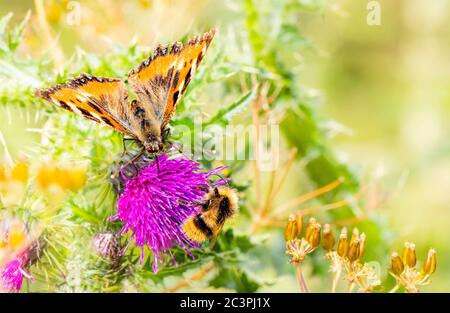 Mariposa de la dama pintada, vanessa cardui, encaramado en las flores en el campo británico