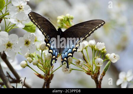mariposa femenina de cola de cisne negra en flores blancas de árboles de pera bradford