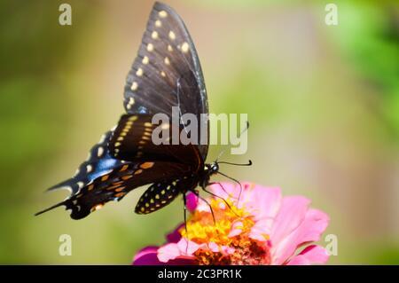 mariposa de cola de cisne negro oriental en una zinnia
