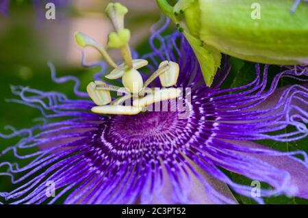 pasionflor púrpura (maypop)
