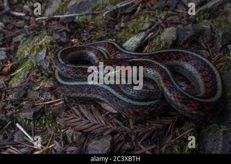 Serpiente de color rojo de California (Thamnophis sirtalis infernalis) de un bosque en el condado de Mendocino, CA.